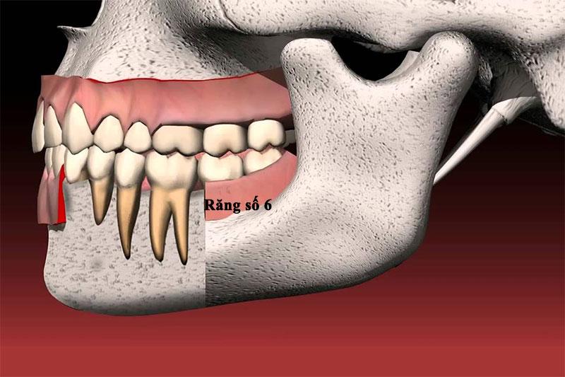 Răng số 6 đảm nhận chức năng ăn nhai chính của hàm răng