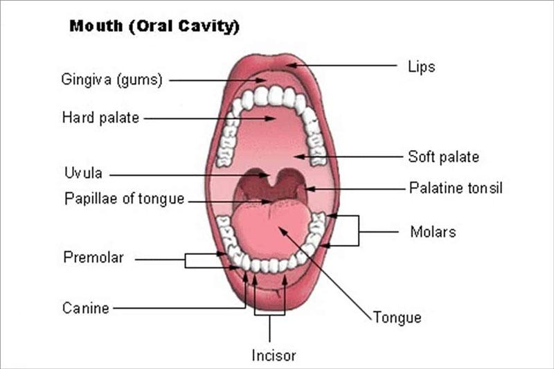 Một số từ vựng răng miệng thường gặp trong Tiếng Anh