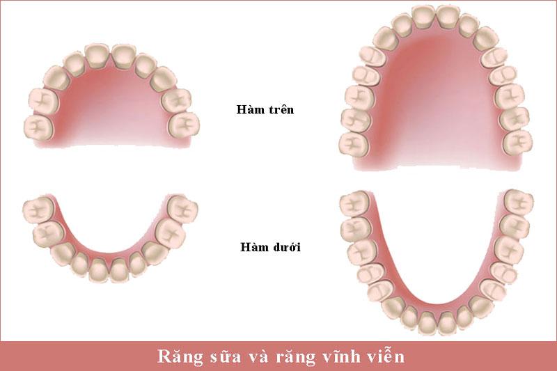 Răng sữa và răng vĩnh viễn khác nhau như thế nào?
