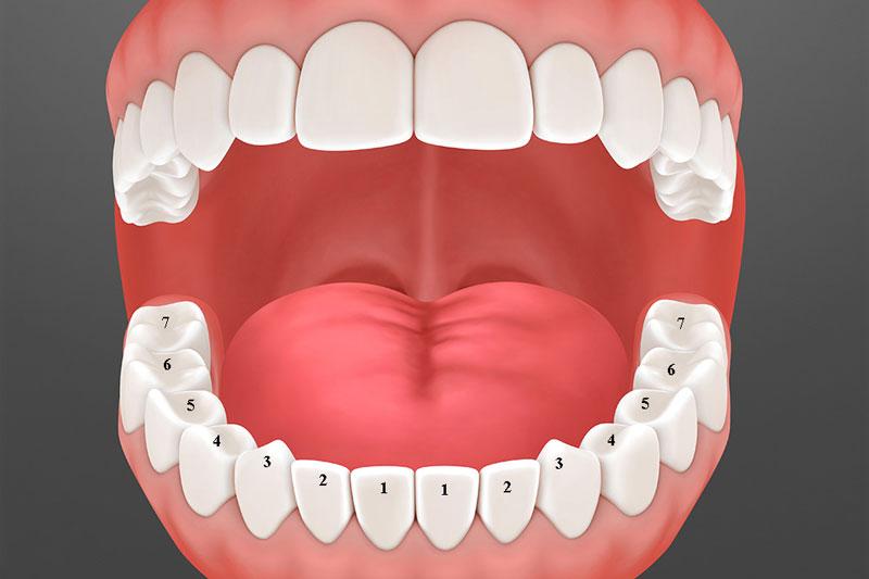 Hàm răng vĩnh viễn có tới 28 chiếc răng, 14 răng hàm trên và 14 răng hàm dưới