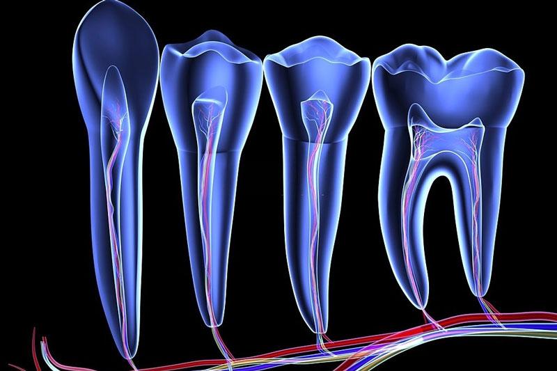 Cấu tạo răng gồm men răng, ngà răng và tủy răng