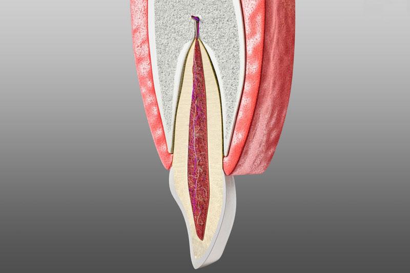 Tủy răng có vai trò quan trọng trong việc cung cấp nguồn dưỡng chất cho răng