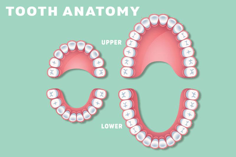 Răng vĩnh viễn nhiều hơn răng sữa 12 chiếc