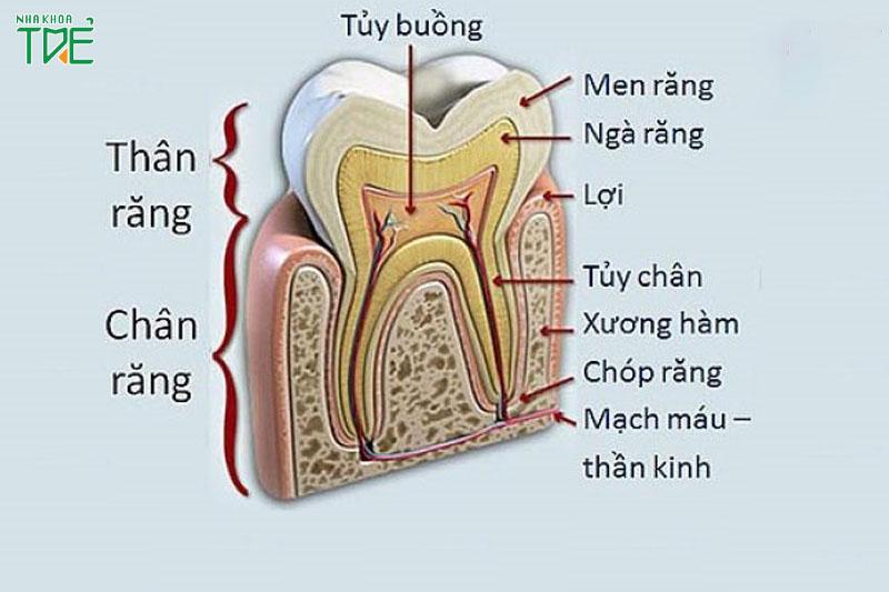 Tủy răng được bao bảo vệ bên trong ngà răng và tủy răng